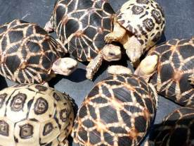 Star and Leopard Tortoises